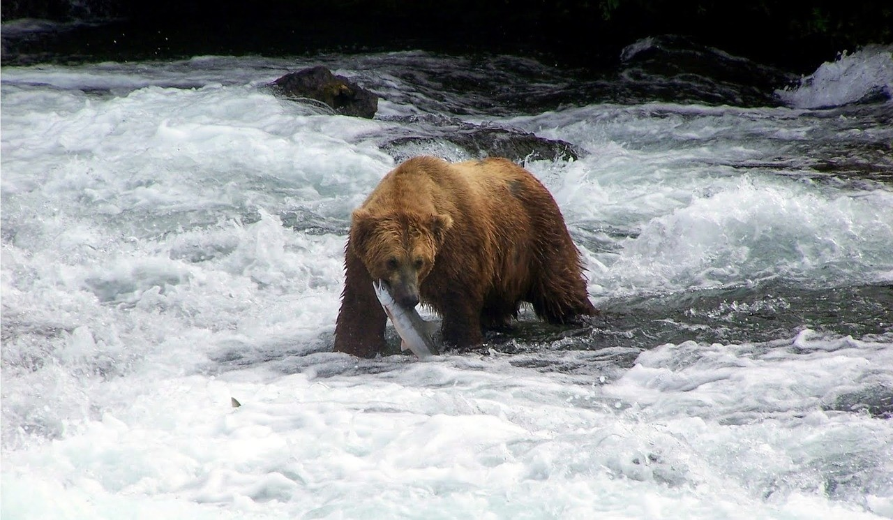 Salmon are an importance source of food for grizzly bears (Credit: Pixabay)