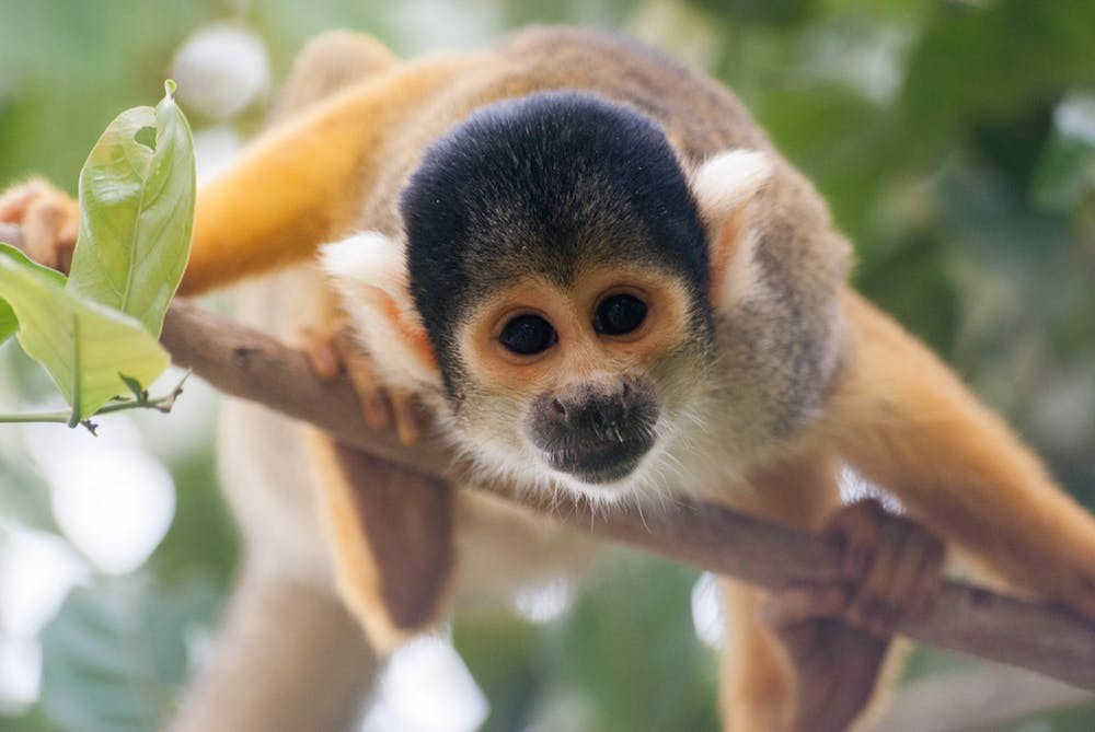 Deforestation could affect the Amazon's diverse animal population, such as squirrel monkeys.  Ryan Anderton/flickr, CC BY-NC-ND