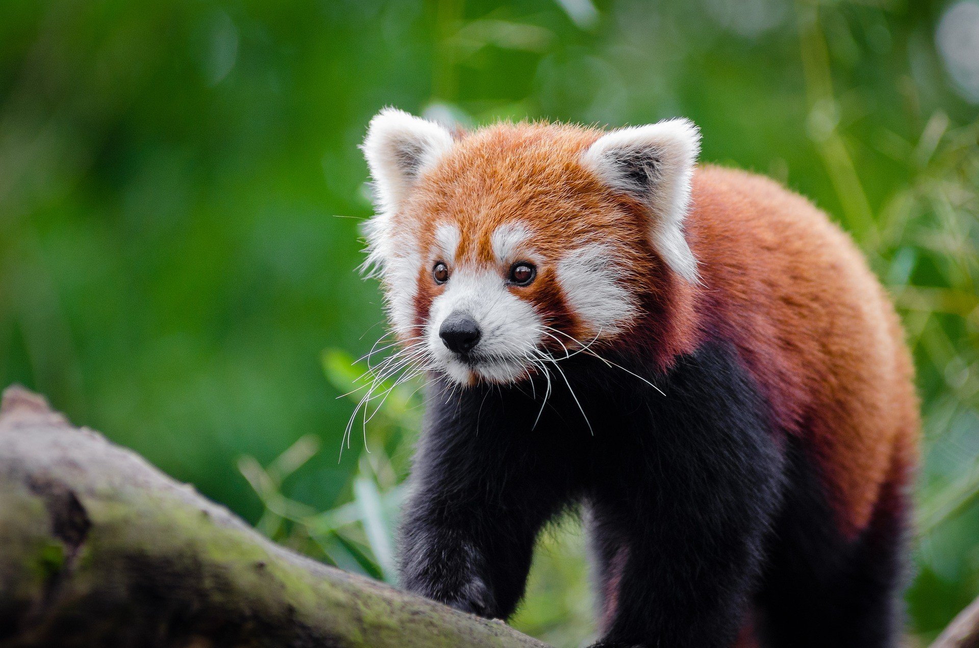 An endangered red panda