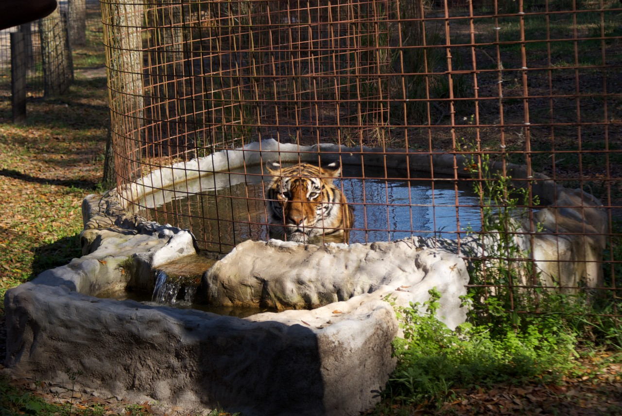 A tiger photographed at Big Cat Rescue. Source: Wikimedia Commons